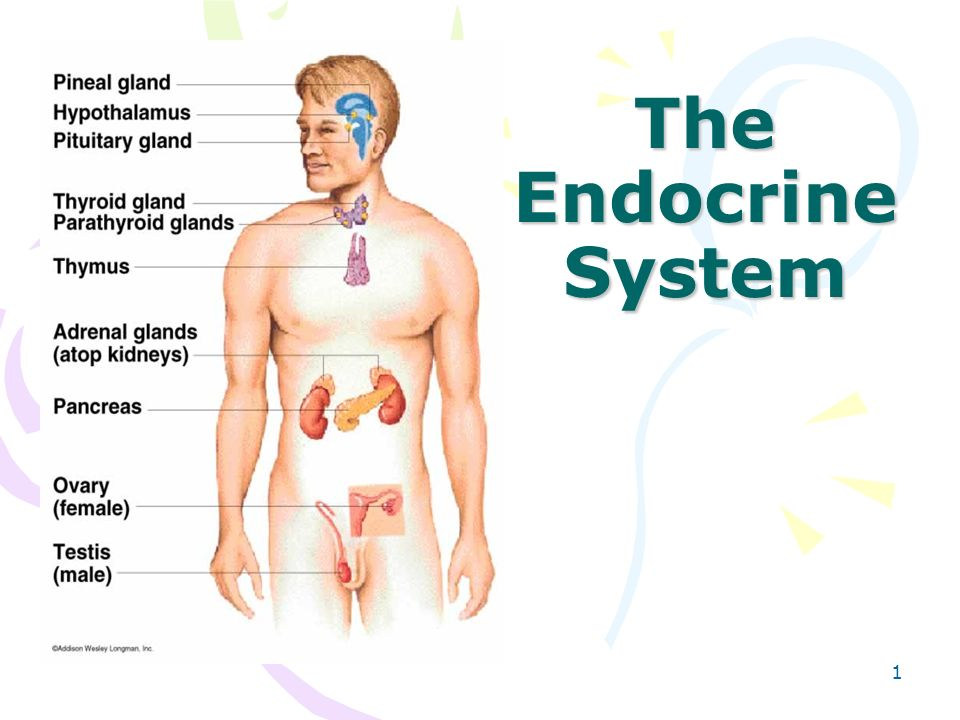 Endocrine System Organs Gallery Human Internal Organs Diagram