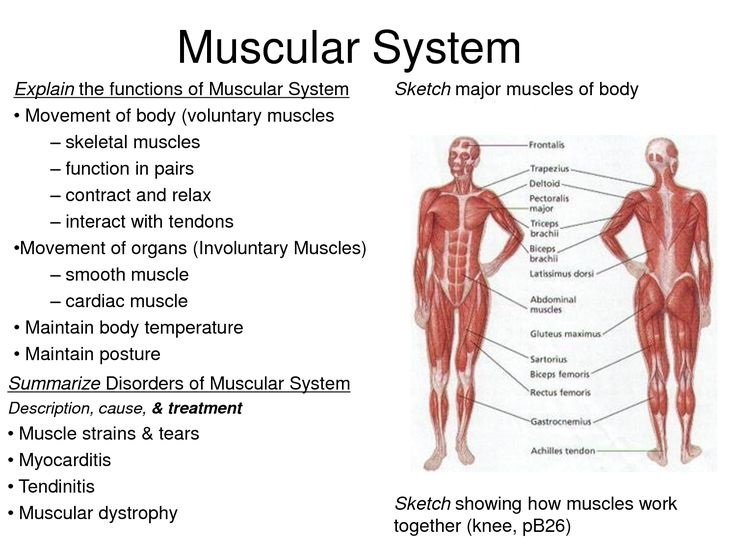 muscle system fun facts – citybeauty, Muscles