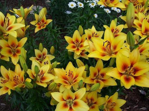 Grand Cru lily